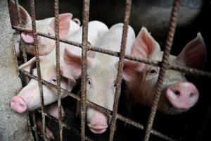 陳思敏:中共「十一」豬荒危機難過