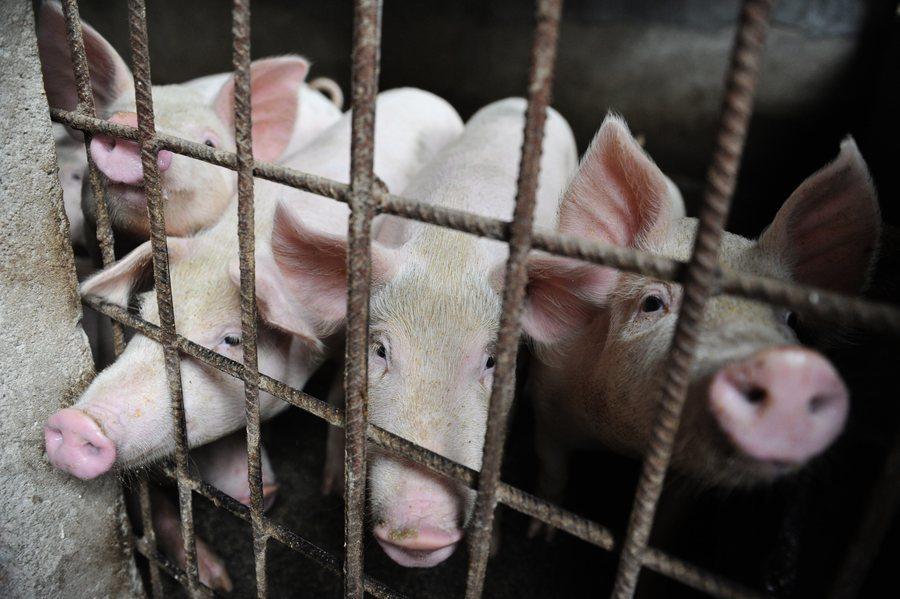 廣西博白發封鎖令 非洲豬瘟疫情有多嚴重?