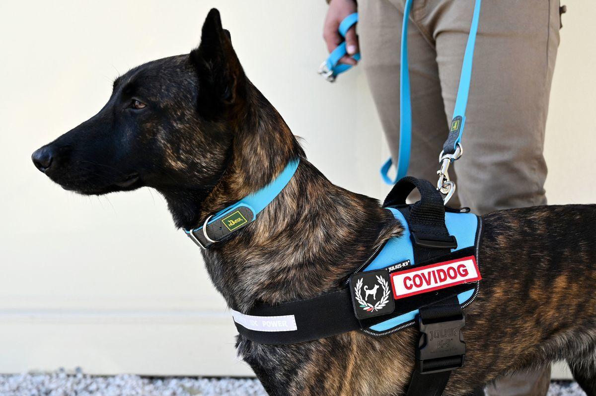 一隻嗅探犬在接受通過汗液檢測中共病毒(Covid-19)的實驗性訓練。 (ALBERTO PIZZOLI/AFP via Getty Images)