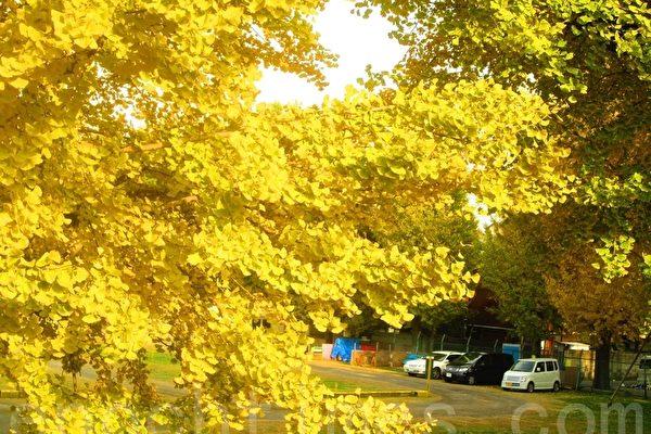 繁茂的銀杏樹在地球上代代綿延億萬年,展現「陰陽相感之妙」。(大紀元)