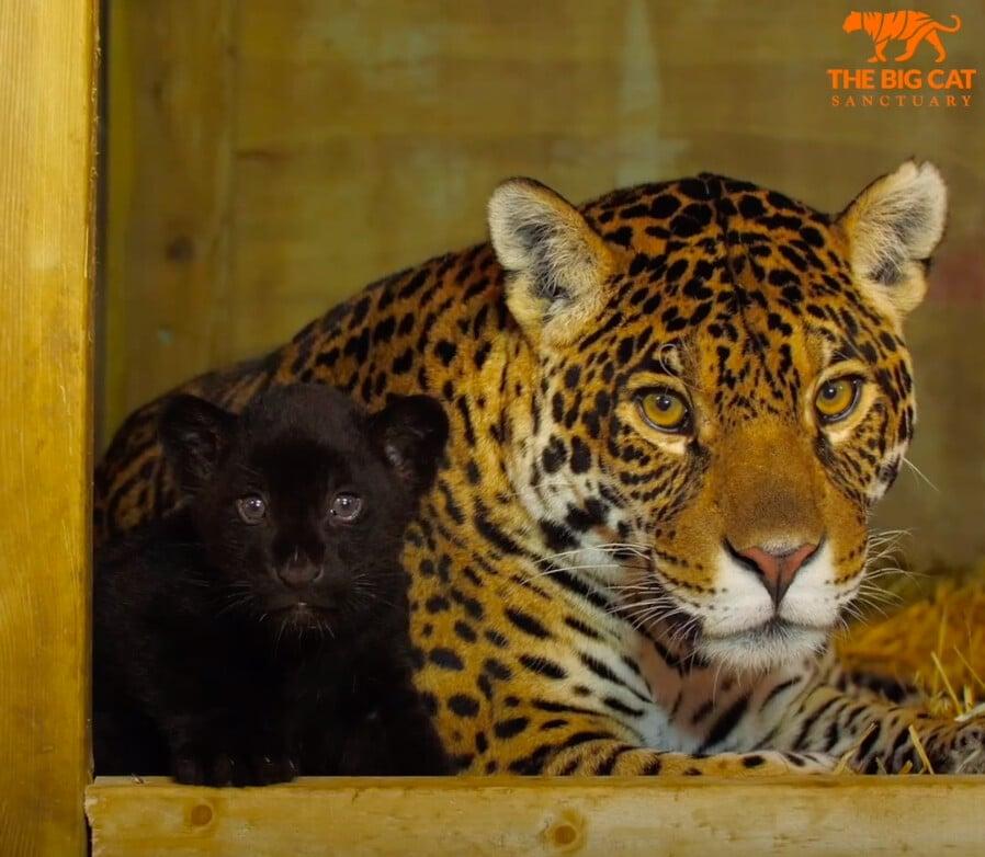 美洲豹幼崽和她的母親。(大貓保護區提供)