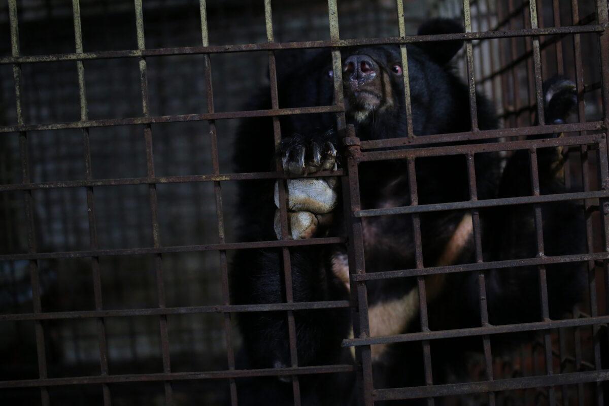 兩隻亞洲黑熊之前一直被關在金屬籠子裏。(Hoang Le/Four Paws提供)