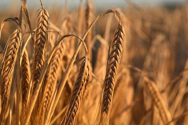 中國糧食缺口巨大,中共當局在外國大量採購糧食,包括大麥。導致全球食品價格大幅上漲,創下七年以來新高。圖為大麥示意圖。(WILLIAM WEST/AFP via Getty Images)