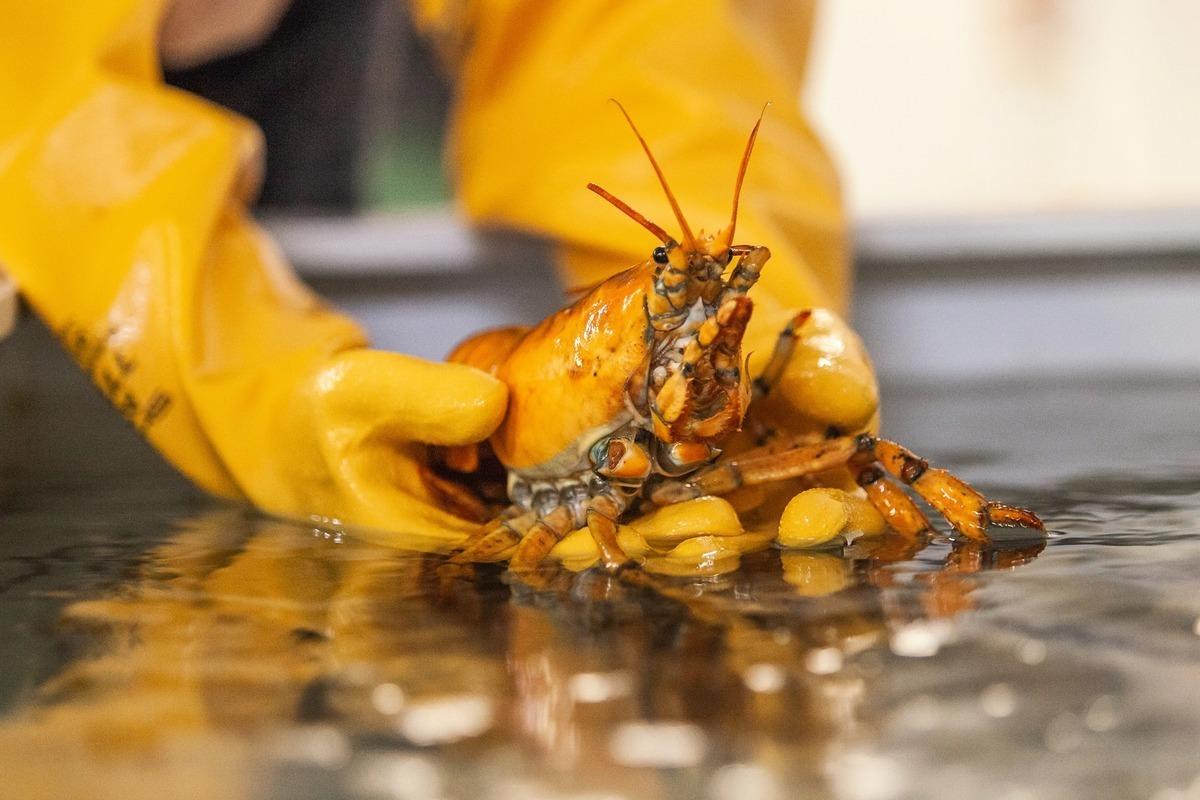 美國緬因州一位漁民日前捕獲到一隻極其罕見的黃金龍蝦,並將其捐給了當地紐英倫大學的海洋科學中心。(紐英倫大學提供)