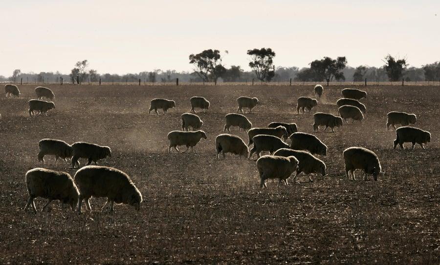 澳洲維省運羊卡車翻車 200隻羊死亡