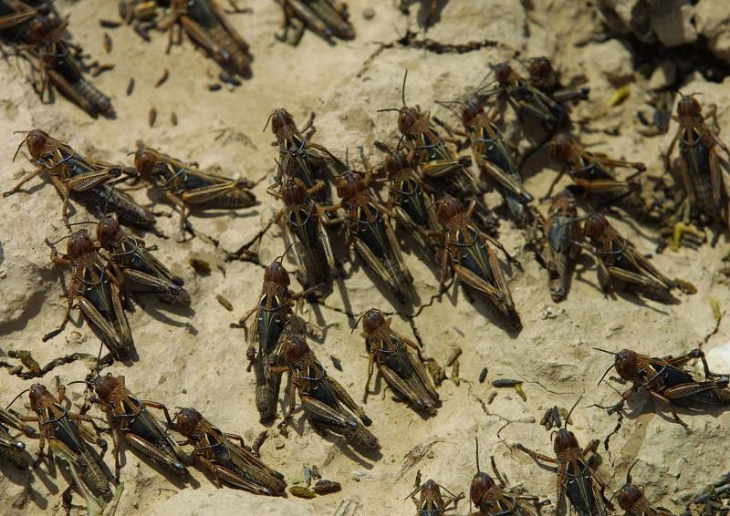 蝗蟲 (Natalie Behring-Chisholm/Getty Images)