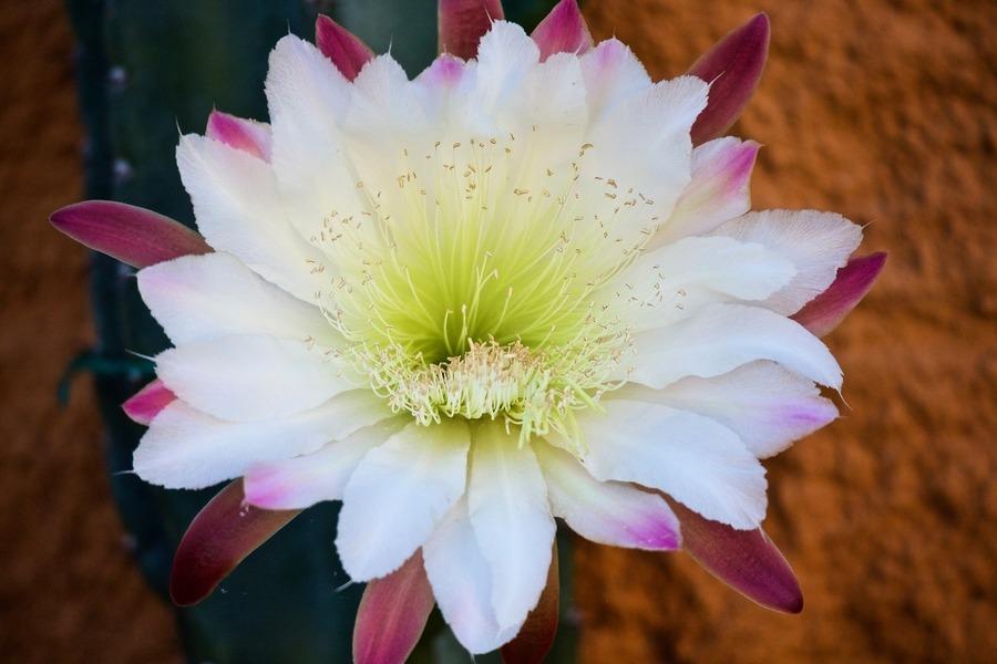 亞馬遜雨林獨有仙人掌 首次在英國開花