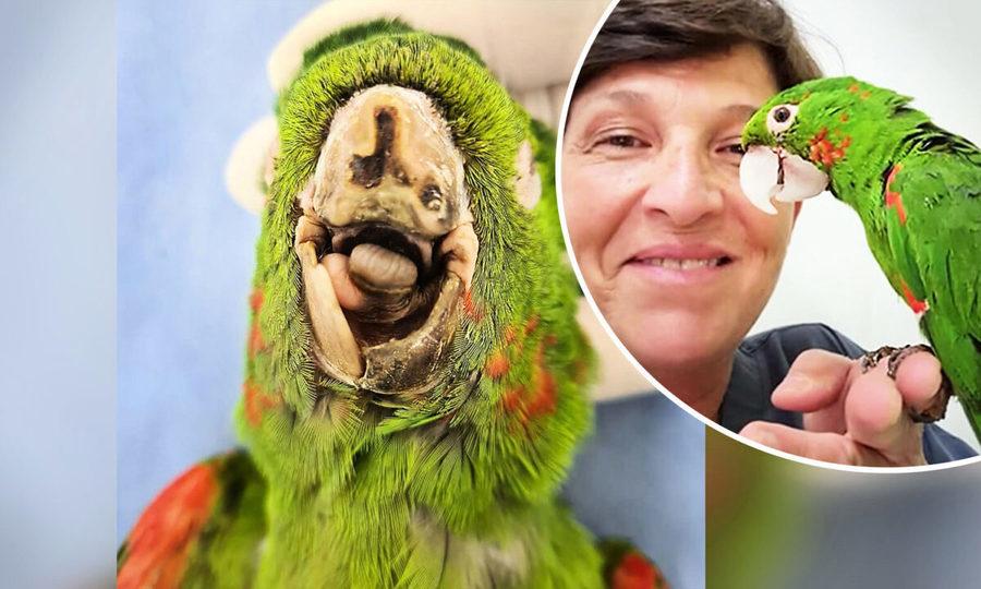 專家打造人工鳥喙 巴西瀕死鸚鵡獲新生