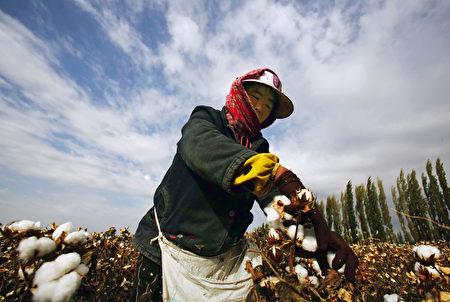 圖為新疆的農民在採收棉花。(STR/AFP/Getty Images)