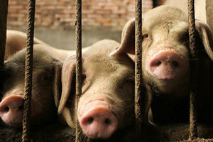 中共說非洲豬瘟疫情可控 經濟學家反駁