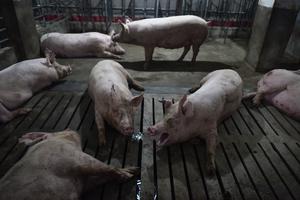 大陸豬價暴跌 第二大豬企上半年虧損逾10億