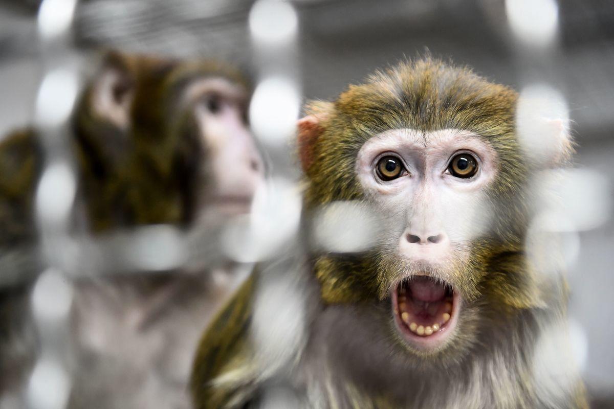 圖為2019年3月13日法國沙特爾附近的諾讓萊費埃動物收容所收留的一隻恆河猴,這是從研究實驗室救出的11隻猴子中的一隻。(JEAN-FRANCOIS MONIER/AFP/Getty Images)