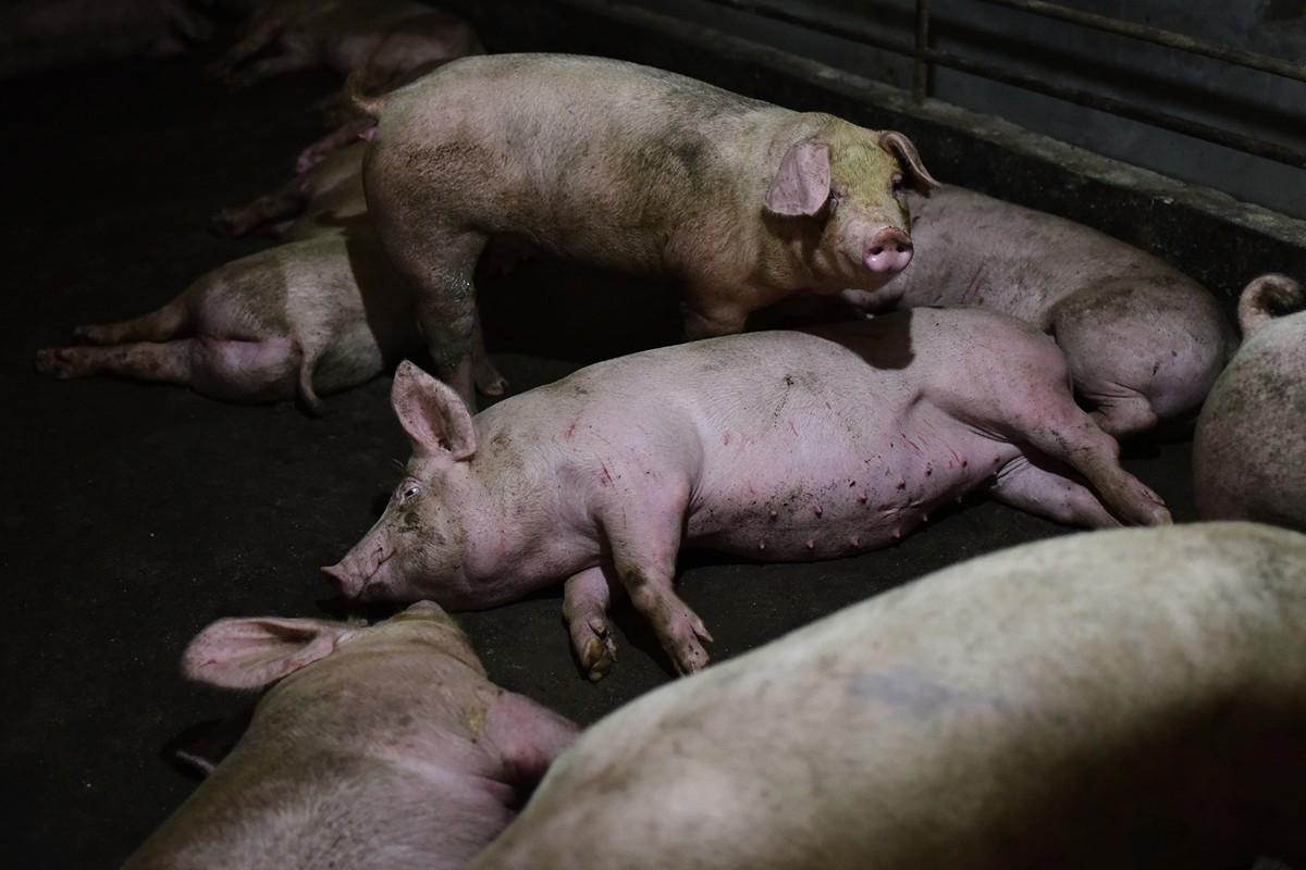 截至2019年4月19日,大陸31個省市自治區均傳出豬瘟疫情。圖為河南省一家養豬場的豬舍。(GREG BAKER/AFP/Getty Images)