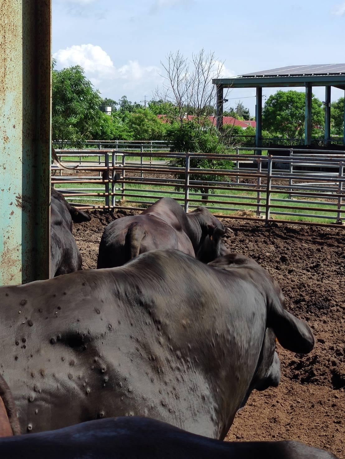 感染牛結節疹的牛隻。(農委會提供)