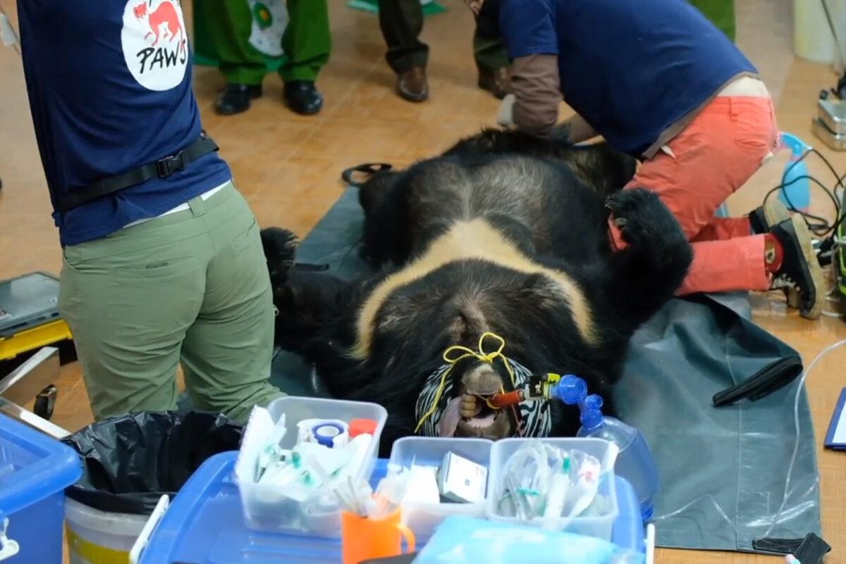 救援人員給黑熊做醫學檢查。(Hoang Le/Four Paws提供)