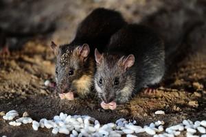 內蒙古再現鼠疫疫情 當地預警持續至年末