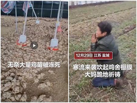 江蘇鹽城,大量雞苗被凍死,飼養戶跪地祈禱。(影片截圖合成)