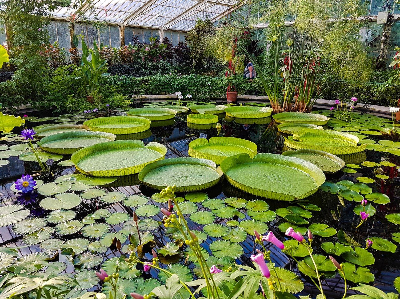 邱園中養殖的世界上最大的蓮花——亞馬遜王蓮(Victoria Amazonica)。(Shutterstock)