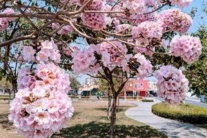 組圖:粉紅和黃金風鈴木好美 南台灣賞花秘徑
