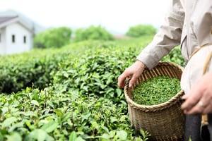 張林:在茶園待了三年 25年不敢喝中國茶