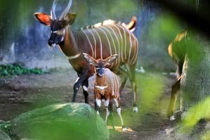 又一極瀕危物種寶寶降生 美動物園再獲紫羚