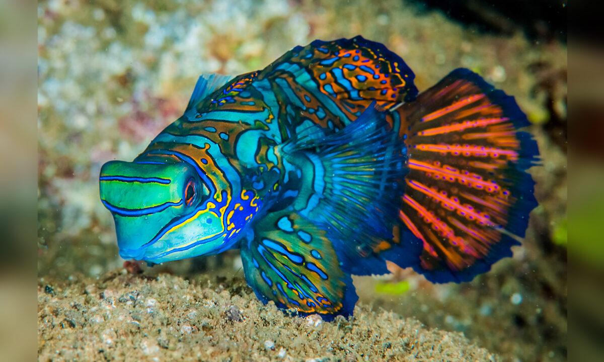 七彩麒麟是海中最美麗的一種魚,但身藏惡毒,很危險。(Shutterstock)