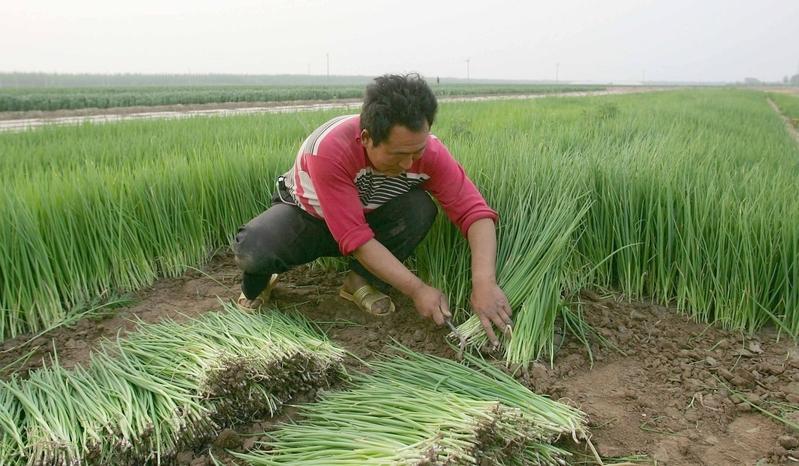 大陸大蔥價格上漲兩倍 網民:又到炒蔥季節