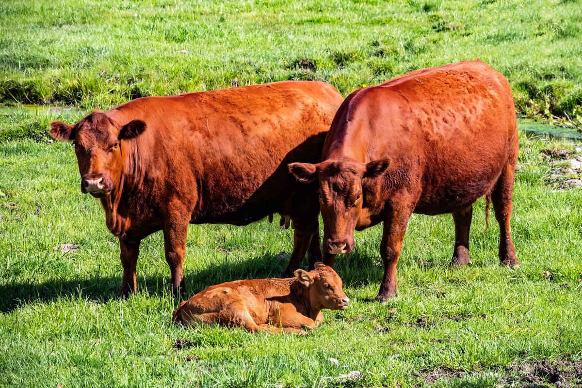 以色列聖殿研究所正在培育《聖經》中記載的紅母牛。圖為紅母牛與小牛的示意圖。(Shutterstock)