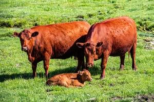 以色列培育紅母牛 為《聖經》末日預言準備