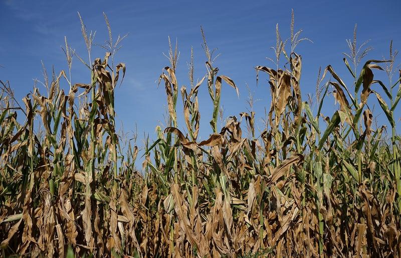 去年的高溫天氣加上大火,給世界第四大農產品出口國澳洲的畜牧業和農業都帶來毀滅性的打擊,澳洲糧食減產大概7%左右。高溫天氣同樣也使美國、印度和韓國等多國糧食歉收。巴基斯坦的蝗災也會造成農作物減產。在嚴重的疫情影響下,這些國家應該也都會首先考慮自保,有的已經開始考慮禁止糧食出口。(Justin Sullivan/Getty Images)