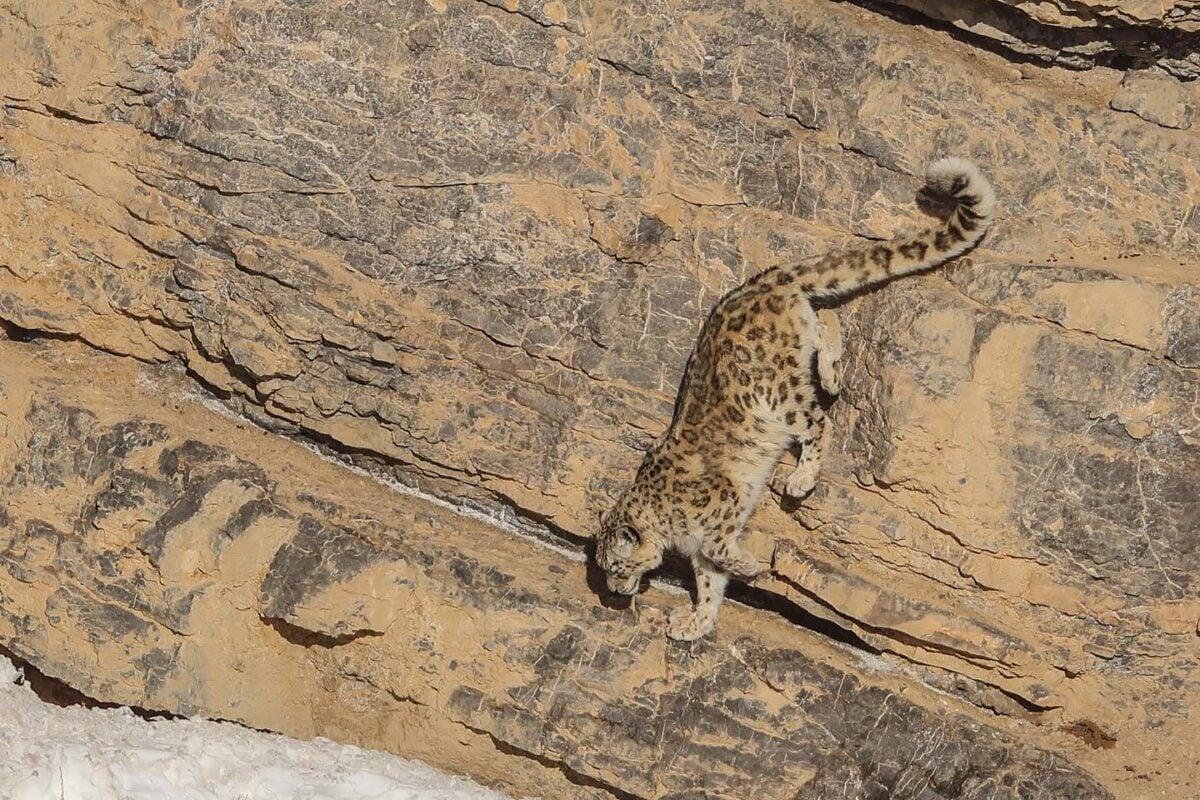 雪豹喜歡晝伏夜出,其行動敏捷機警,善於跳躍,3至4米的高崖可縱身而下,喜走山脊和溪谷。(德賽提供)