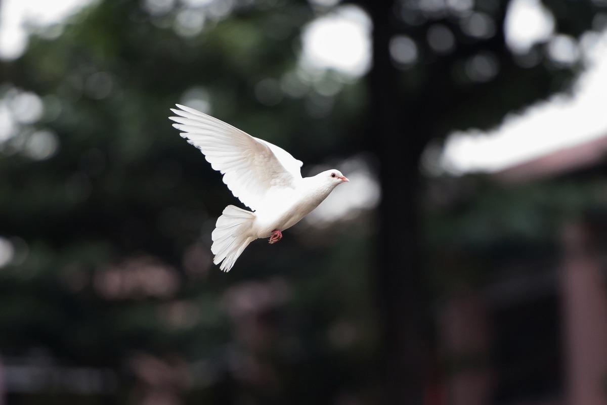 網上短片顯示,哥倫比亞圖爾瓦一隻白鴿停在空中不動,似乎被「定格」了。圖為一隻在空中飛行的白鴿,與本文無關。(Pixabay)