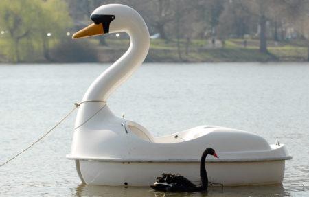 黑天鵝之類的事件,在我們今天的世界上,似乎特別的多。圖為2007年德國西北部的Aasee湖中,一隻黑天鵝在一艘天鵝型的踏板船旁穿行。(Getty Images)