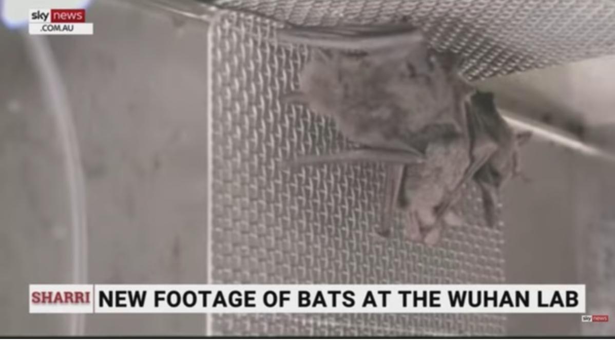 《中國科學院武漢病毒研究所武漢P4實驗室建設研究團隊》 影片中,展示了活蝙蝠被關在籠子裏。(影片截圖)
