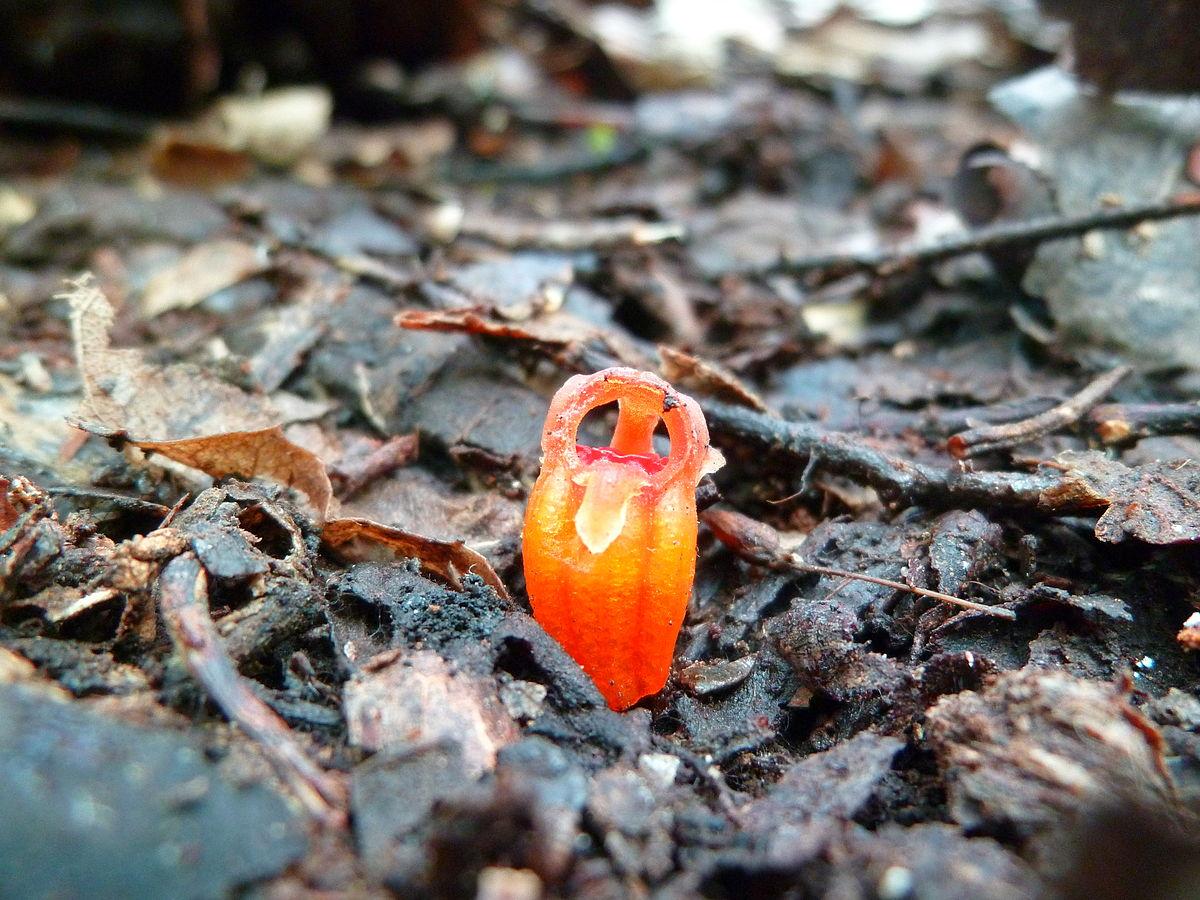 水玉杯屬(Thismia)的植物花形奇特,通常隱身在落葉下,很難被發現。此為水玉杯屬植物Thismia rodwayi的花朵。與本文介紹的為同一個屬。(Thouny/維基)