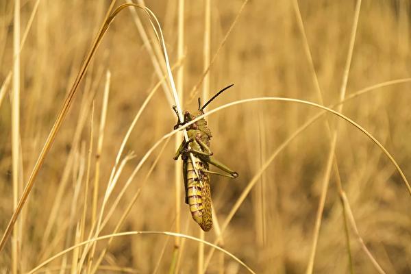 蝗蟲為災,是天人感應的一種顯象。(pixabay)