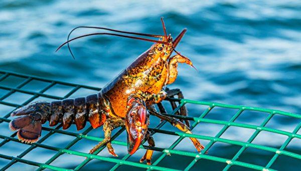 龍蝦  這是誘捕籠上面的一隻小龍蝦,與本文無關。(Shutterstock)