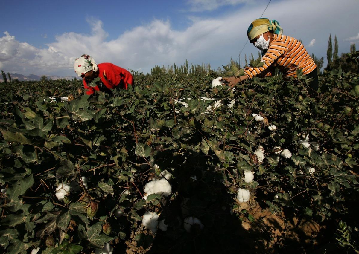 民間社會組織聯盟也指責中共當局強迫成千上萬的維吾爾族和其它少數民族手工採摘棉花。(Getty Images)