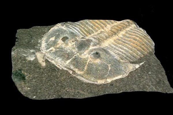 三葉蟲化石。(Brigitte Schoenemann/University of Cologne)