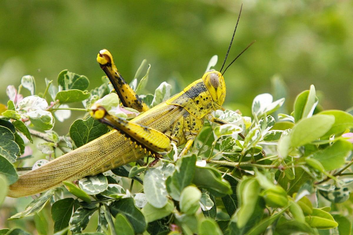 意大利薩丁尼亞島遭蝗蟲侵襲,其災情是70年來最嚴重的一次。圖為2006年10月19日,馬來西亞吉隆坡郊區的一隻蝗蟲。(TENGKU BAHAR/AFP/Getty Images)