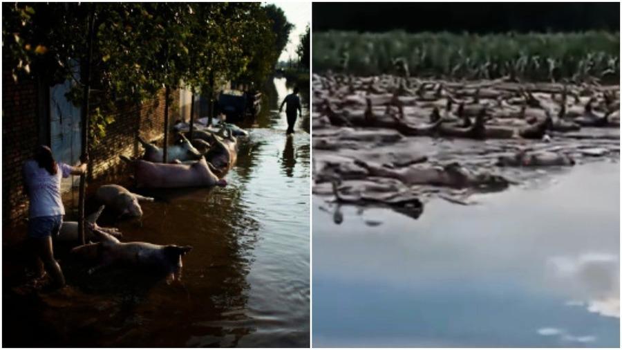 【一線採訪】開封洪災 一村漂逾萬死豬