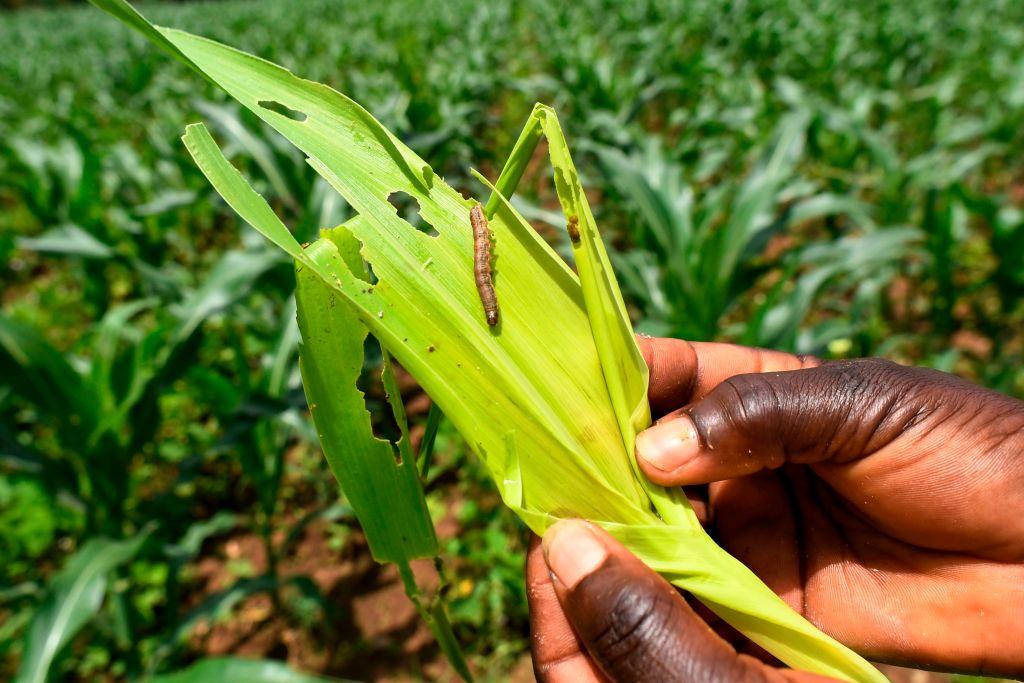 去年4月18日,在非洲拍攝的遭「草地貪夜蛾」幼蟲型態啃食過的粟米作物。 (SIMON MAINA/AFP/Getty Images)