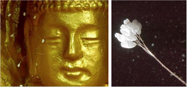 圖六:左:1997年7月,南韓京畿道廣州郡一家寺院的方丈在一尊金銅如來座像上發現了盛開的優曇婆羅花,隨後二十多年,優曇婆羅花在世界各地陸續開放。右:在400倍的電子顯微鏡下的優曇婆羅花,花莖呈現透明。