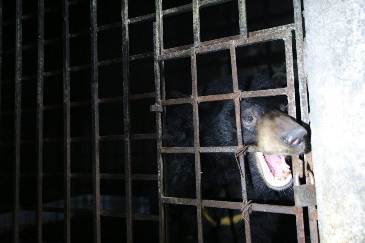 雄性黑熊「Xuan」因多次嘗試咬鐵籠逃脫,導致多顆牙齒掉落。(Hoang Le/Four Paws提供)