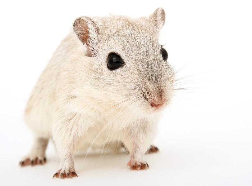 中共軍醫讓公鼠懷孕產幼鼠 網友驚呼恐怖