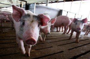 「金豬仔」跌到白菜價 中國豬企全面虧損