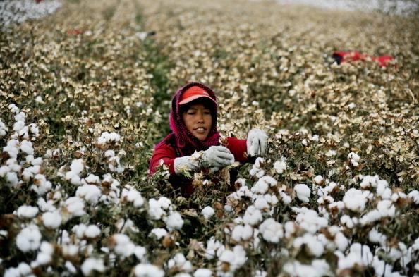 棉農在採收棉花。(STR/AFP/Getty Images)
