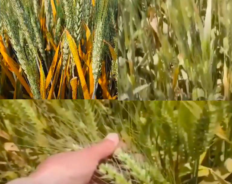 山東小麥莖基腐病破1200萬畝 糧食安全堪憂
