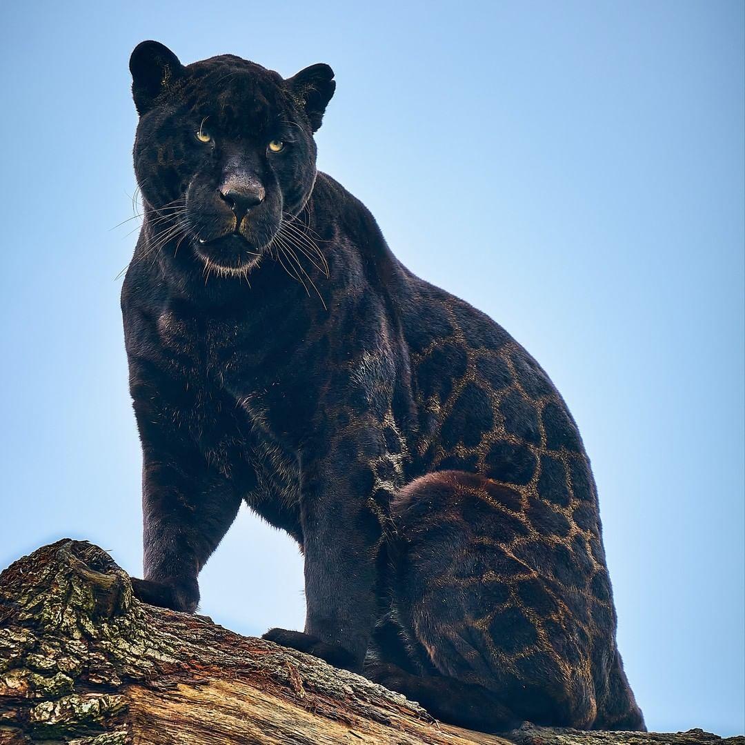 奈隆呈現一身罕見的黑色,但明顯還能看到斑點圖案。(大貓保護區提供)