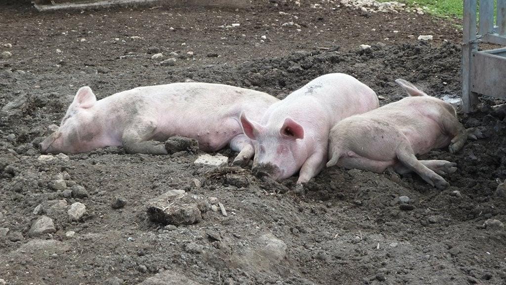 生豬養殖商淨利巨虧4億 股價卻暴漲一度漲停